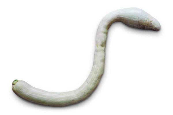 Zucca serpente di Sicilia